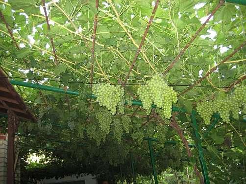 Выращивание винограда на перголе или