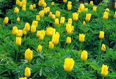 фото тюльпаны - сад одного цветка