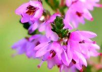 Сад цветов. Верес обыкновенный фото