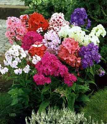 сад цветов, флоксы - фото
