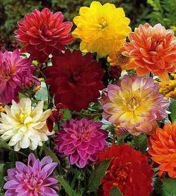 Сад цветов. Георгины - фото