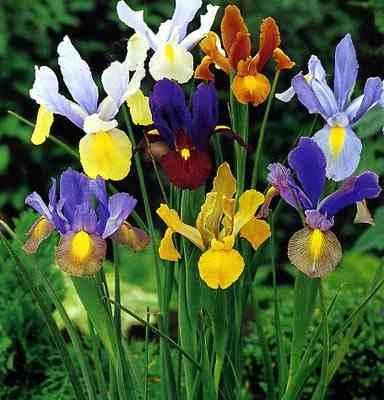 фото лилии - сад одного цветка