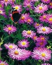 Сад цветов, фото астры