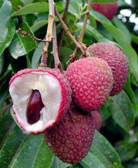 актинидия плод внутри