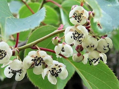 актинития в период цветения