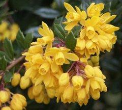 Растения для вертикального озеленения - барбарис обыкновенный - Berberis vulgaris, фото