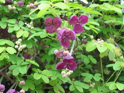 древогубец весной в период цветения, фото