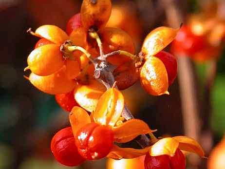 древогубец берестовый плоды - фото