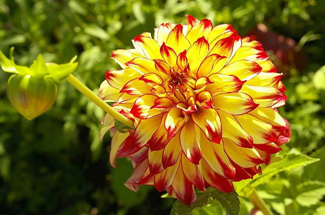 Многолетние садовые цветы для дачи - георгины