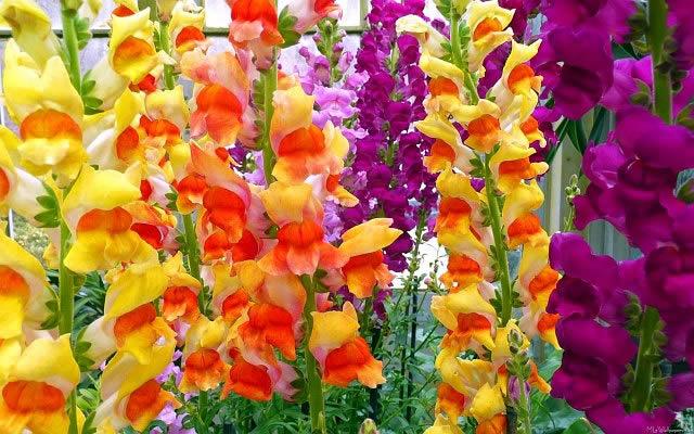 Многолетние садовые цветы – Гладиолусы.