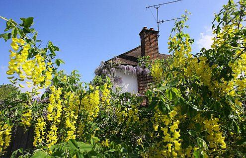 Глициния выращивание на перголе и беседке - фото