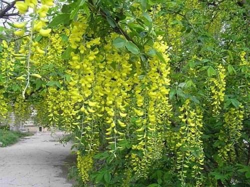 Глициния желтая гибрид - фото