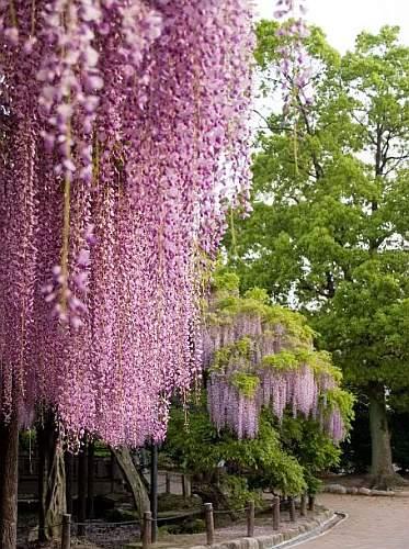 глициния обильно цветущая - фото
