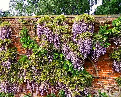 Глициния выращивание у теплой стены - фото