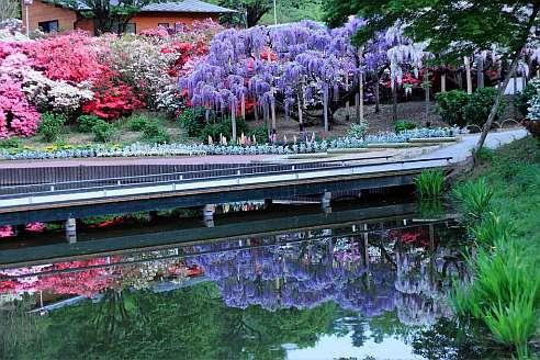 глициния украшение сада - фото
