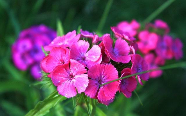 Цветы в саду фото – Гвоздики.
