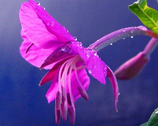 Как выглядит растение Иван-чай. Фото