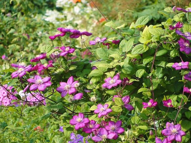 Клематисы – многолетние садовые цветы