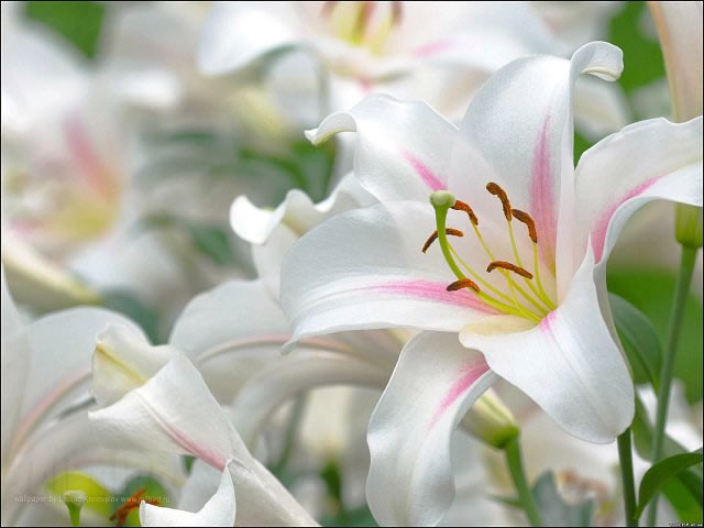 цветы для дачи - лилии