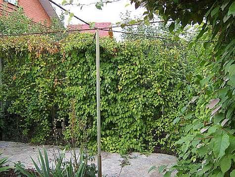 Лимонник китайский выращивание на шпалере - фото