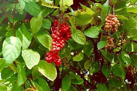 плоды лимонника китайского - фото