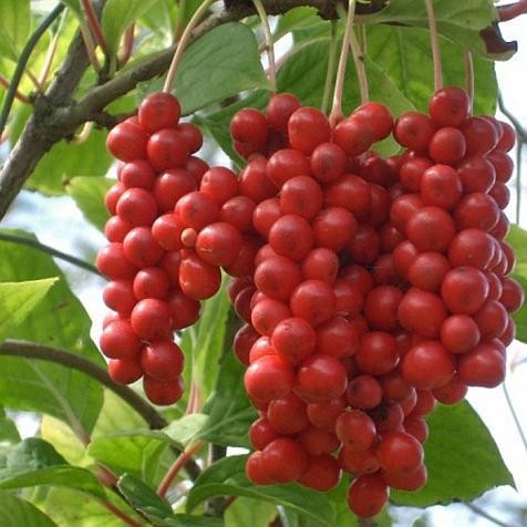 Созревшие плоды лимонника китайского - фото