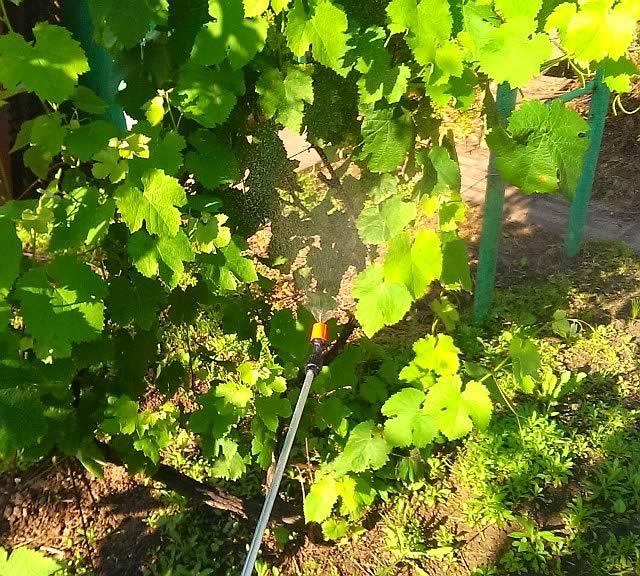 Милдью на винограде, правильное опрыскивание.