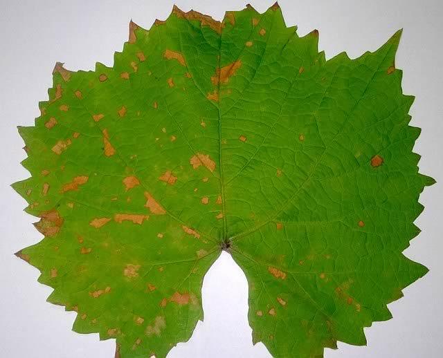 Милдью на винограде, пораженный лист устойчивого сорта - фото