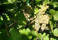 Виноград на даче, весенняя обрезка, фото