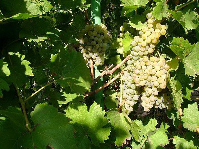 Весенняя обрезка винограда. Основные правила обрезки куста.
