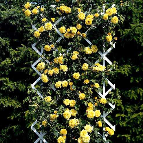 Плетистые розы в садовом дизайне - фото