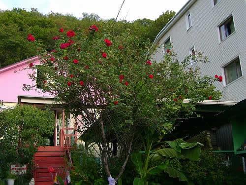 На этом фото плетистая роза захватила в качестве опоры дерево