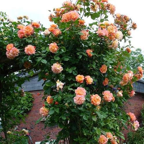 На фото плетистые розы сорта westerland