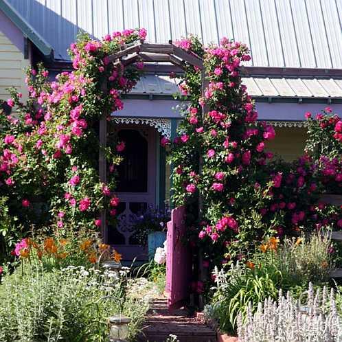 Плетистая роза на перголе - фото