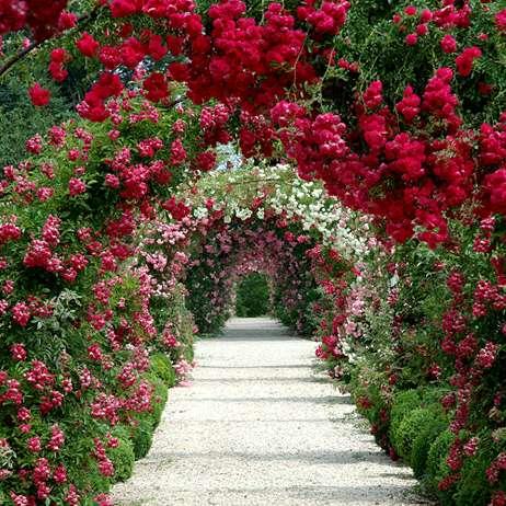 Беседка увитая плетистой розой Кордеса - фото
