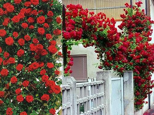 Плетистые розы фото, названия, сорта плетистых роз