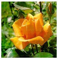 роза плетистая голден - фото