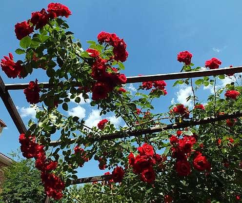 Сорт плетистой розы фламентанц
