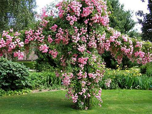 Штамбовая роза или Камелия - фото