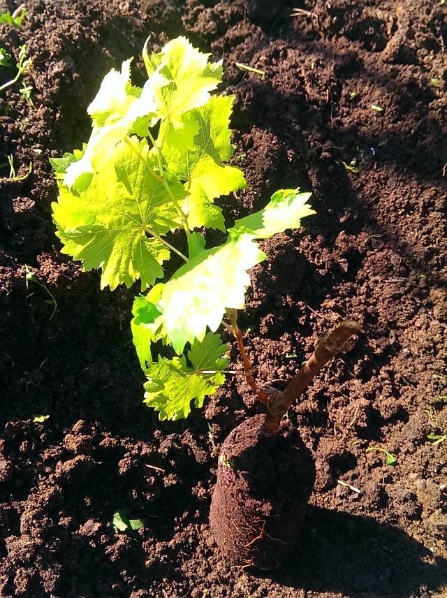 Посадка винограда весной саженцами - фото