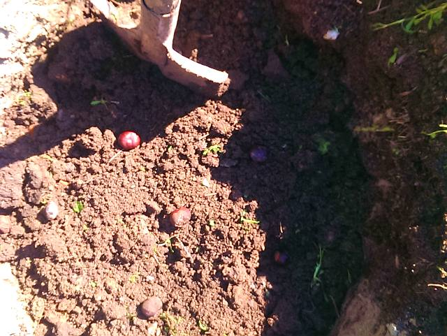 Посадка винограда весной саженцами - каштаны нейтрализуют магнитное поле земли.