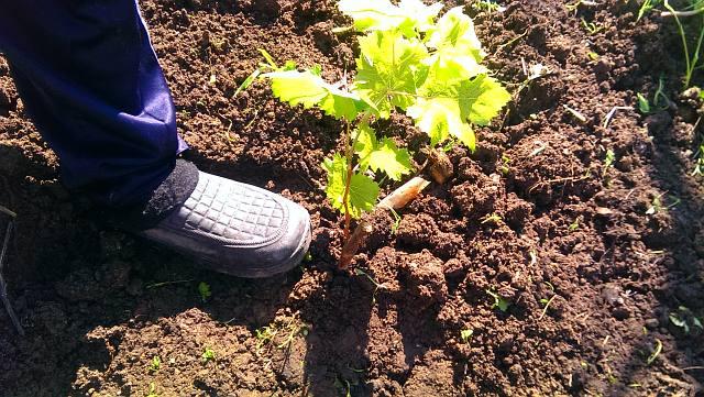 Как правильно уплотнить грунт возле саженца винограда при посадке весной.