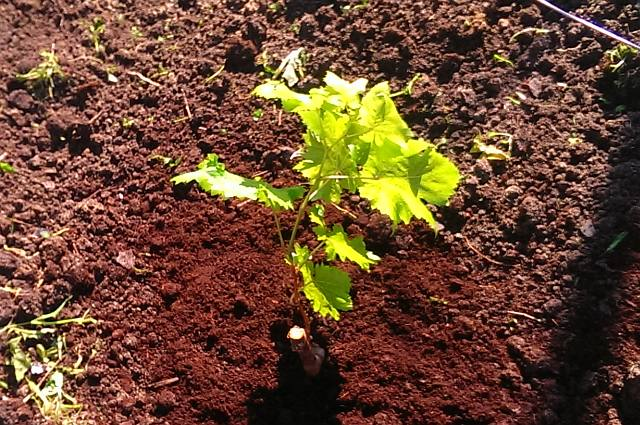 Посадка винограда весной саженцами – мульчирование почвы под посаженным кустом.