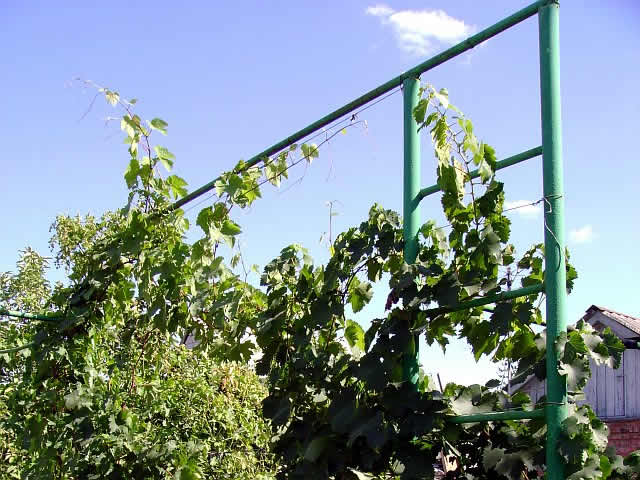 Шпалера для винограда своими руками – фото
