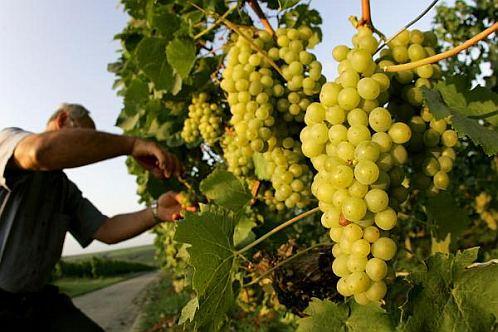 виноград для озеленения беседок