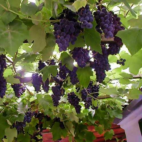 виноград изабелла на перголе