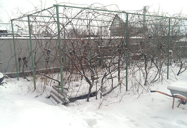 Выращивание винограда из черенков в домашних условиях - фото