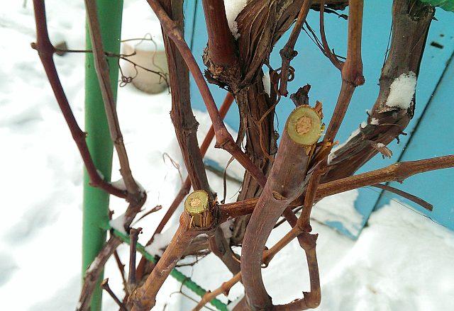 Пример того, когда можно заготавливать черенки винограда для посадки весной