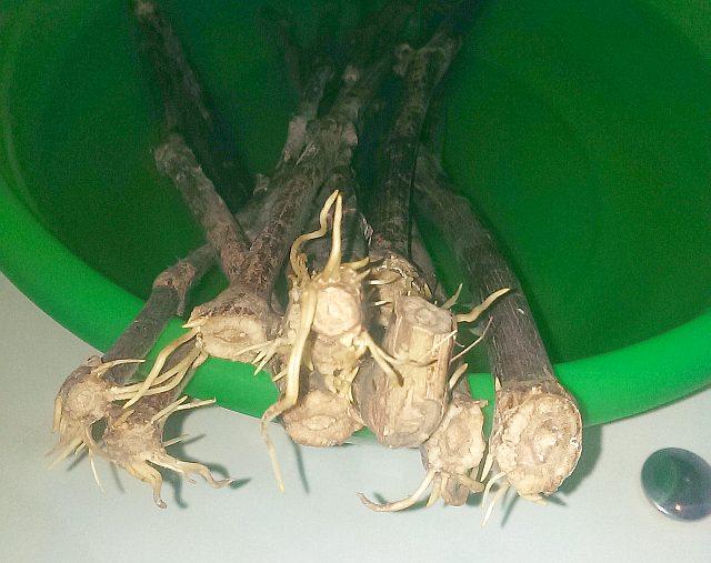 Корни, образовавшиеся на черенках винограда после зимнего хранения, чубуки готовы к весенней посадке