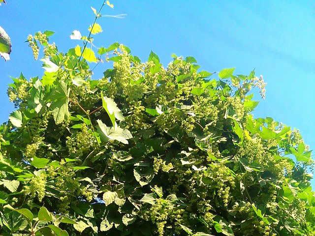Дикий хмель во время цветения, но фото он захватил виноградник.